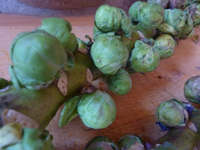 Fresh brussels sprouts culinary bike tours italy italiaoutdoors food and wine
