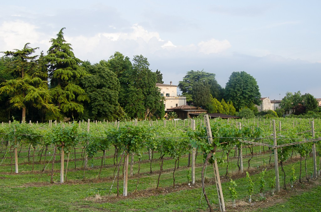 Villa Monteleone vineyards