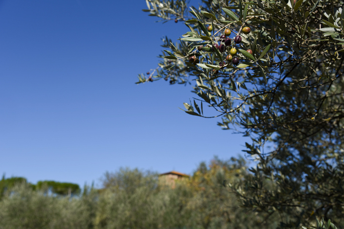 pruneti-olive-tree-private-tours-tuscany