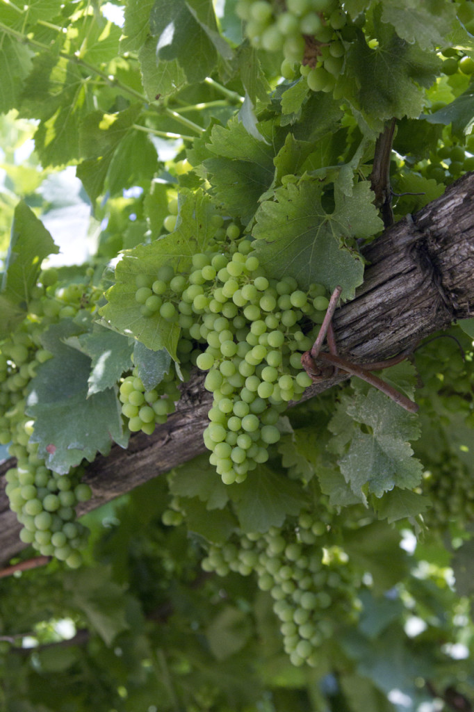 white grapes private bike tours italy
