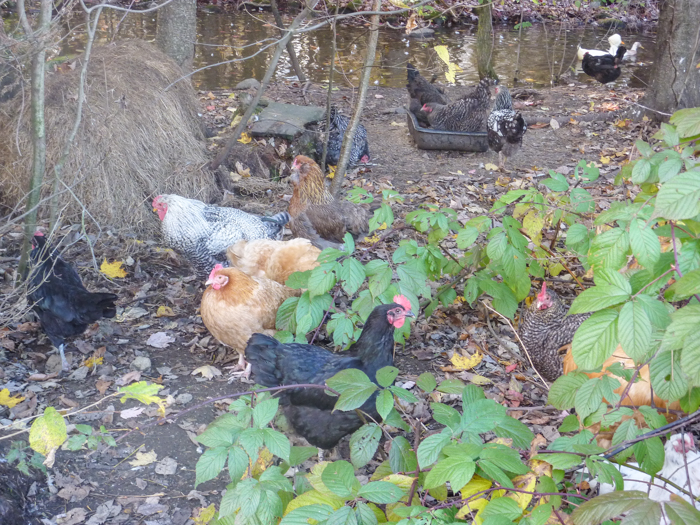 free-range-hens-private-italy-walking-tours